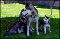 Siberian Husky Family & Friends