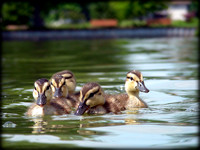 Swimming With Ducklings
